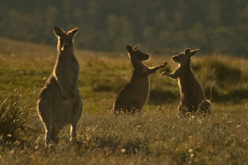 kangaroo_fight_in_the_golden_hour