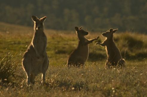 kangaroo_fight_in_the_golden_hour